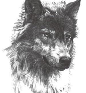 Tattoo loup sauvage